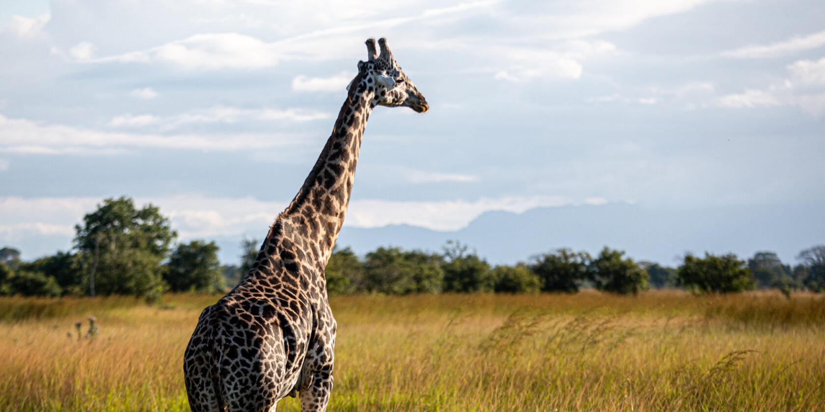 Giraff basking in the sun while standing in tall grass and bushes